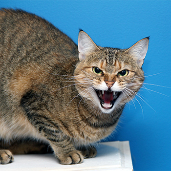 Angry cat growl hiss