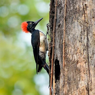 Black woodpecker, Dryocopus martius, birds