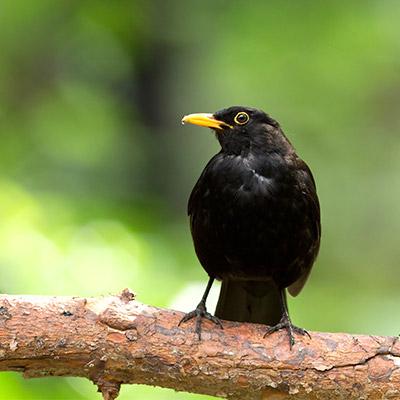 Blackbird, Turdus merula, birds