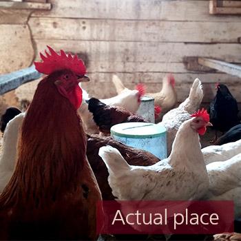 Chicken coop, hen house, clucking, farm, barn - 02
