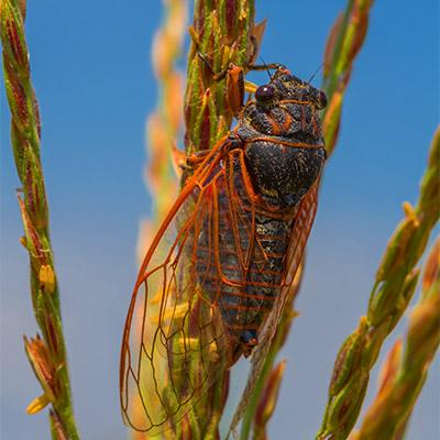 Cicada - 01
