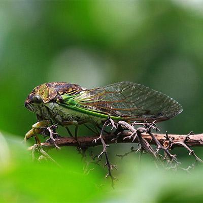 Cicadas - 01