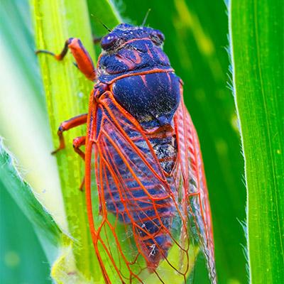 Cicadas - 02