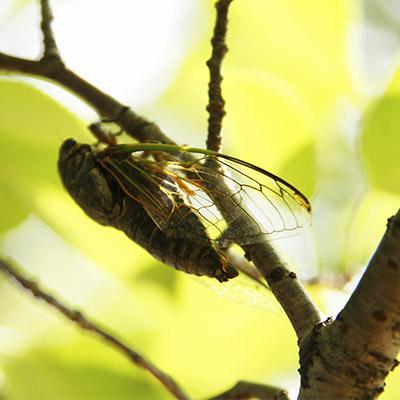 Cicadas - 03