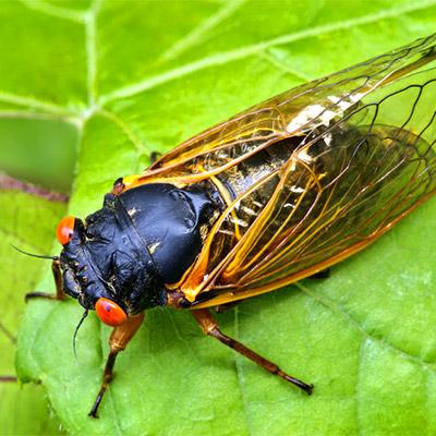 Crickets, cicadas - 01