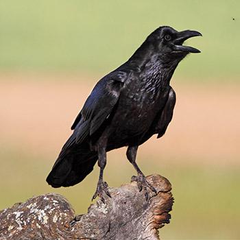 Crow, making strange noise