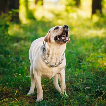 Distant dog barking