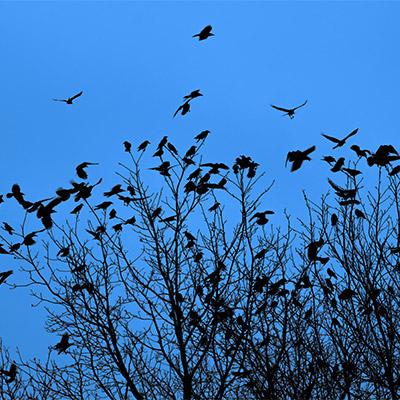 Flock of ravens, birds