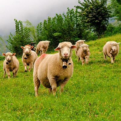 Herd of sheep with bells