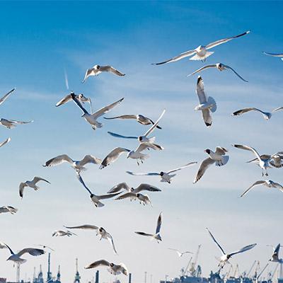 Large flock of seagulls, birds