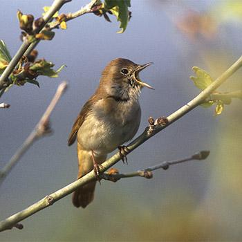 Nightingale song, bird - 01