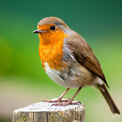 Robin, Erithacus rubecula, birds