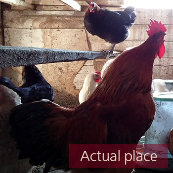 Rooster, chicken coop, hen house, farm ambience - 02