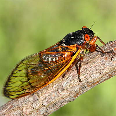 Single cricket, cicada, chirping, insect - 01