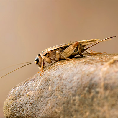 Single cricket, far distance