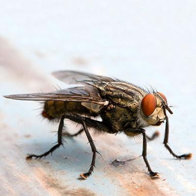 Single fly buzzing