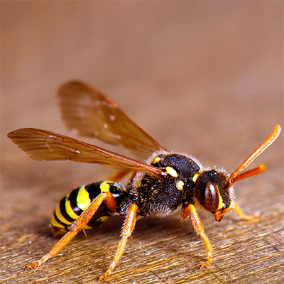 Wasp, bee, insect buzzing