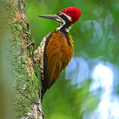 Woodpecker, birds